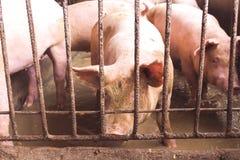 Lean hogs in a farm. Closeup of photo Royalty Free Stock Photos