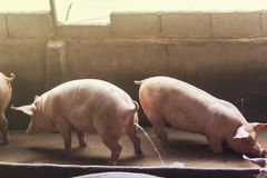 Lean hogs in a farm, closeup. Of photo Stock Images