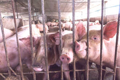 Lean hogs in a farm, closeup. Of photo Royalty Free Stock Image