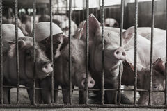 Lean hogs in a farm. Closeup of photo Royalty Free Stock Photo