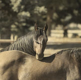Lean on me. Two horses. A country scene of two horses in a sepia tone. A beautiful mane sparkles in the sun Stock Photos
