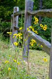 Leanin dos girassóis em uma cerca de madeira. Imagens de Stock Royalty Free