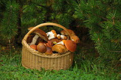 Leaning basket with mushrooms under a pine tree Stock Photography
