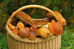 Leaning basket with mushrooms under a pine tree Stock Images