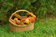 Leaning basket with mushrooms under a pine tree Royalty Free Stock Photo
