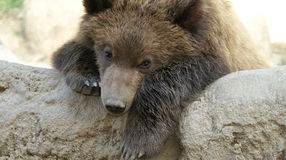 Leaning brown bear Royalty Free Stock Photos