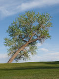 Leaning cottonwood tree Royalty Free Stock Images
