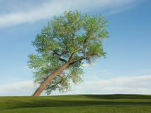 Leaning cottonwood tree. With new spring leaves and a green lawn and blue sky with white puffy clouds royalty free stock image
