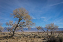 Leaning Desert Tree Royalty Free Stock Images