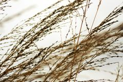 Leaning grass and grey sky Royalty Free Stock Photography