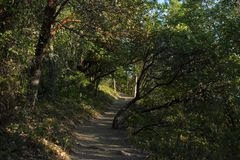 Leaning madrone trees on the trail royalty free stock photo
