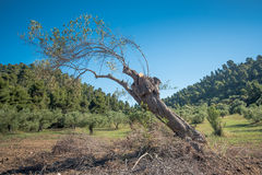 Leaning Olive Tree Stock Image