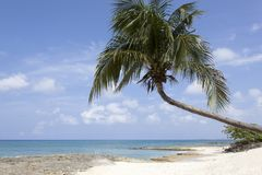 Grand Cayman Island Beach. The leaning palm over Seven Mile Beach on Grand Cayman island Cayman Islands royalty free stock photography