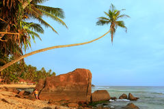 Leaning palm tree with big rocks, Unawatuna beach, Sri Lanka Stock Photography