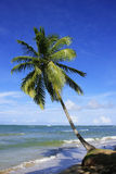 Leaning palm tree at Las Terrenas beach, Samana peninsula Stock Image
