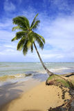 Leaning palm tree at Las Terrenas beach, Samana peninsula Royalty Free Stock Photos