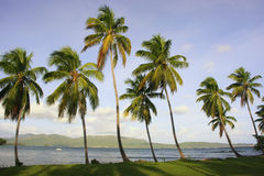 Leaning palm trees at Las Galeras beach, Samana peninsula Royalty Free Stock Photos