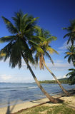 Leaning palm trees at Las Galeras beach, Samana peninsula Royalty Free Stock Photo