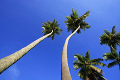 Leaning palm trees at Las Galeras beach, Samana peninsula Royalty Free Stock Photo