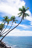 Leaning palms. Palm trees leaning out over the ocean in Hawaii Royalty Free Stock Images