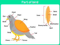 Leaning Parts of bird for kids -  Worksheet Royalty Free Stock Images