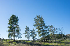 Leaning Pine Trees Royalty Free Stock Photos