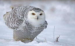 Leaning Snowy Owl Stock Image