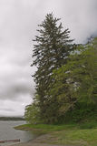 Leaning Spruce on River Bank Stock Images