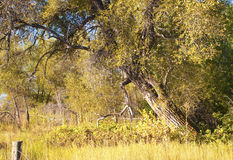 Leaning Tree in Early Autumn Stock Image