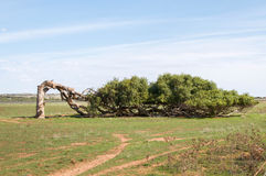 The Leaning Tree of Greenough Stock Image