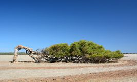 The leaning tree. Greenough. Geraldton. Coral Coast. Western Australia. Geraldton is a coastal city in the Mid West region of Western Australia, located 424 royalty free stock photography
