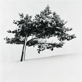 Leaning tree. Misawa japan aomori Stock Photos