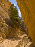 Leaning tree in slot canyon Royalty Free Stock Image