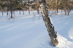 A leaning tree trunk covered with snow in winter Park woods.  Royalty Free Stock Photo