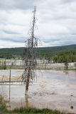 The Leaning Tree. This tree was in a standing pool of water from one of the hot spring areas of Yellowstone National Park. I`m guessing the hot spring over time Royalty Free Stock Photo
