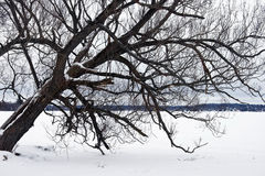 Leaning Tree in Winter Royalty Free Stock Images