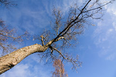 Leaning treeon sky background in city park Stock Image
