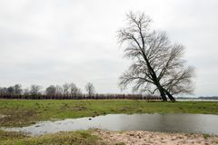 Leaning trees on the riverbank. Two bare trees silhouetted against the gray cloudy sky. The trees are on the edge of a wide Dutch river. The water level is high Stock Images