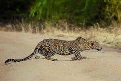 Leaopard visant aux cerfs communs Images stock