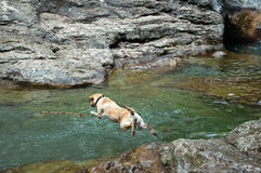 Leap dog in the river Stock Images