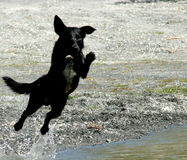 Leap of faith. Dog jumping in a lake, motion blur stock photography