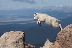 Mountain Goat Kid Jumping for Joy! stock image