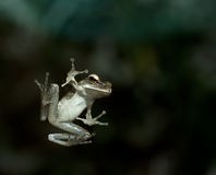 A leap frog on glass window. On night time Royalty Free Stock Photo