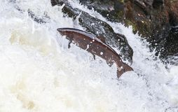 Leaping Atlantic salmon salmo salar. Mighty atlantic salmon travelling to spawning grounds during the summer in the Scottish highland. The salmon in this picture Royalty Free Stock Photos