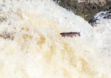 Leaping Atlantic salmon salmo salar. Mighty atlantic salmon travelling to spawning grounds during the summer in the Scottish highland. The salmon in this picture Stock Photos