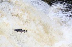 Leaping Atlantic salmon salmo salar. Mighty atlantic salmon travelling to spawning grounds during the summer in the Scottish highland. The salmon in this picture Stock Photo
