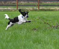 Leaping Black and White English Setter Royalty Free Stock Image