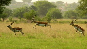 Leaping blackbucks Stock Images