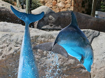 Leaping Blue Dolphins on a sunny day at an aquarium. Two dolphins leap and jump through the air during a show on a sunny day at the aquarium. Their bodies royalty free stock images