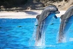 Leaping Bottlenose Dolphins. Bottlenose dolphins leaping over rope stock photo